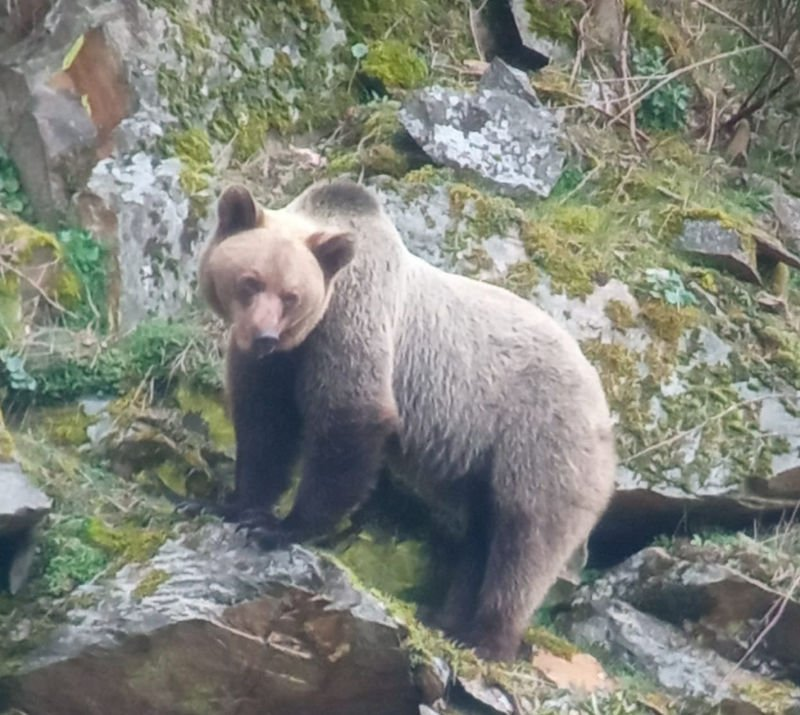 Avistar oso en cangas del narcea